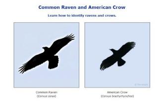 crow-raven