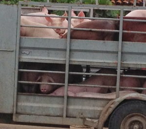 Pigs+to+slaughter