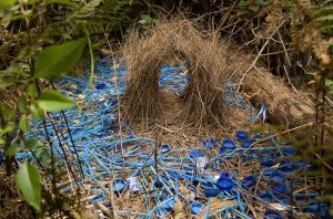 satin-bower-bird-nest