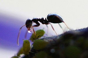 Ant_Receives_Honeydew_from_Aphid