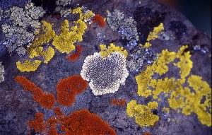 crustose_lichens_lg