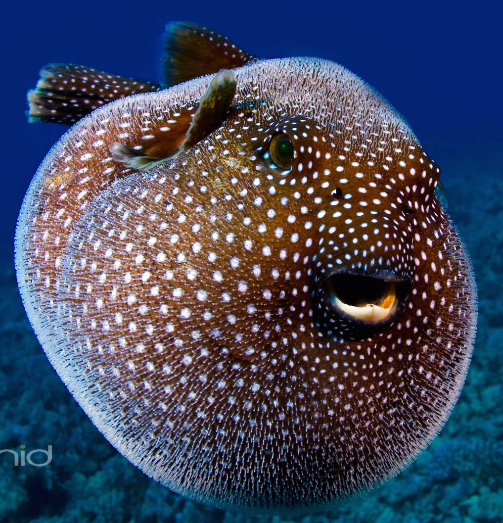 Geology mary c simmons for A puffer fish
