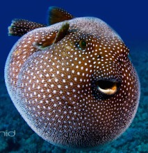 A Guineafowl Pufferfish, Hawaii